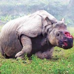 rhinocéros trafic braconnage