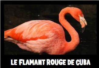 flamant rouge de cuba - flamant zoo de la Boissière du Doré - flamant flamanville